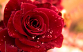 Beautiful Red Rose 壁紙