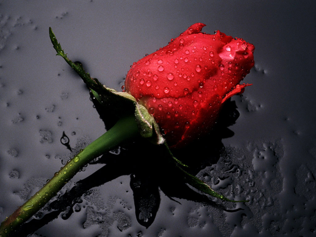 Colors Beautiful Red Rose Wallpaper