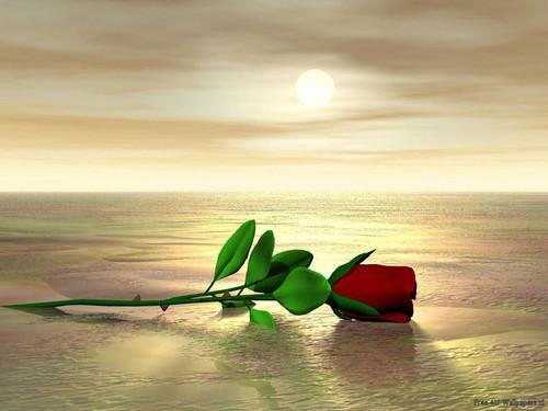 Beautiful Red Rose वॉलपेपर