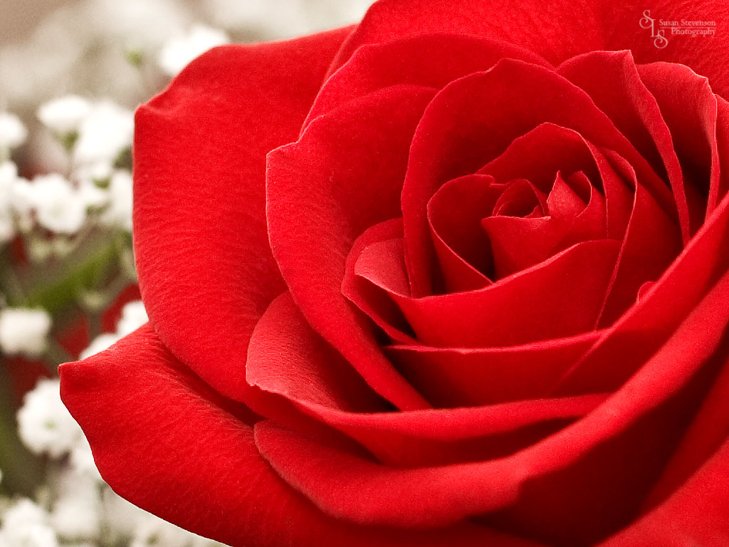 Rose Wallpaper Red Rose Wallpaper