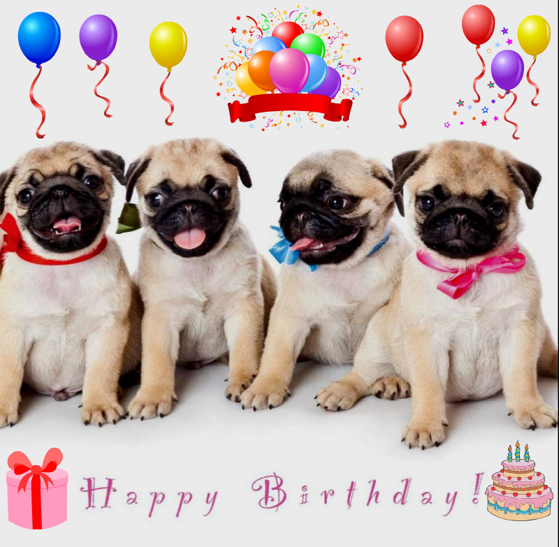 Birthday pug funny pugs 34581826 800 783 funny pugs images birthday pug hd wallpaper and background photos