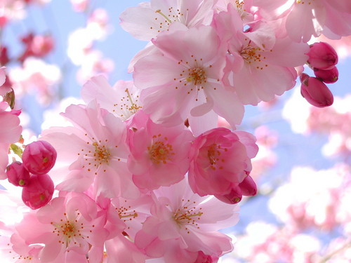 Pink (Color) wallpaper containing a begonia, a camellia, and a damask rose titled Blooming Pink Cherry Blossom
