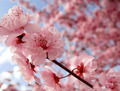 Blooming Pink Cherry Blossom - pink-color photo