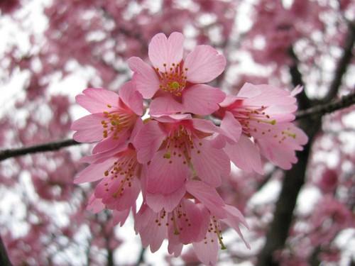 Blooming 담홍색, 핑크 체리 Blossom