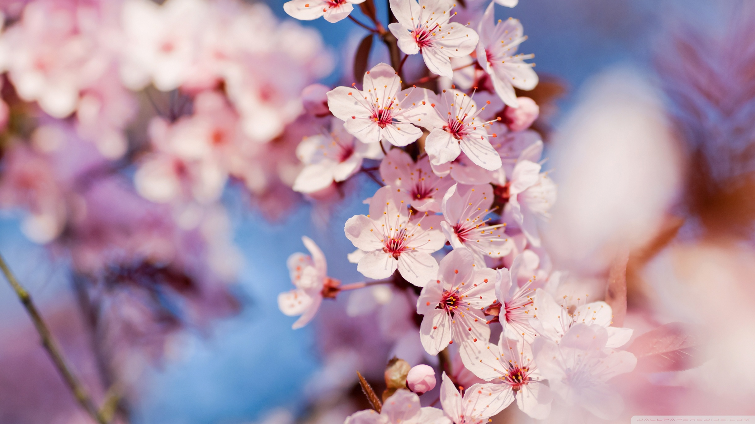 Blooming Pink Cherry Blossom Pink Color Wallpaper