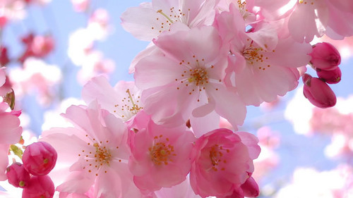 Pink (Color) wallpaper with a begonia, a camellia, and a rose called Blooming Pink Cherry Blossom