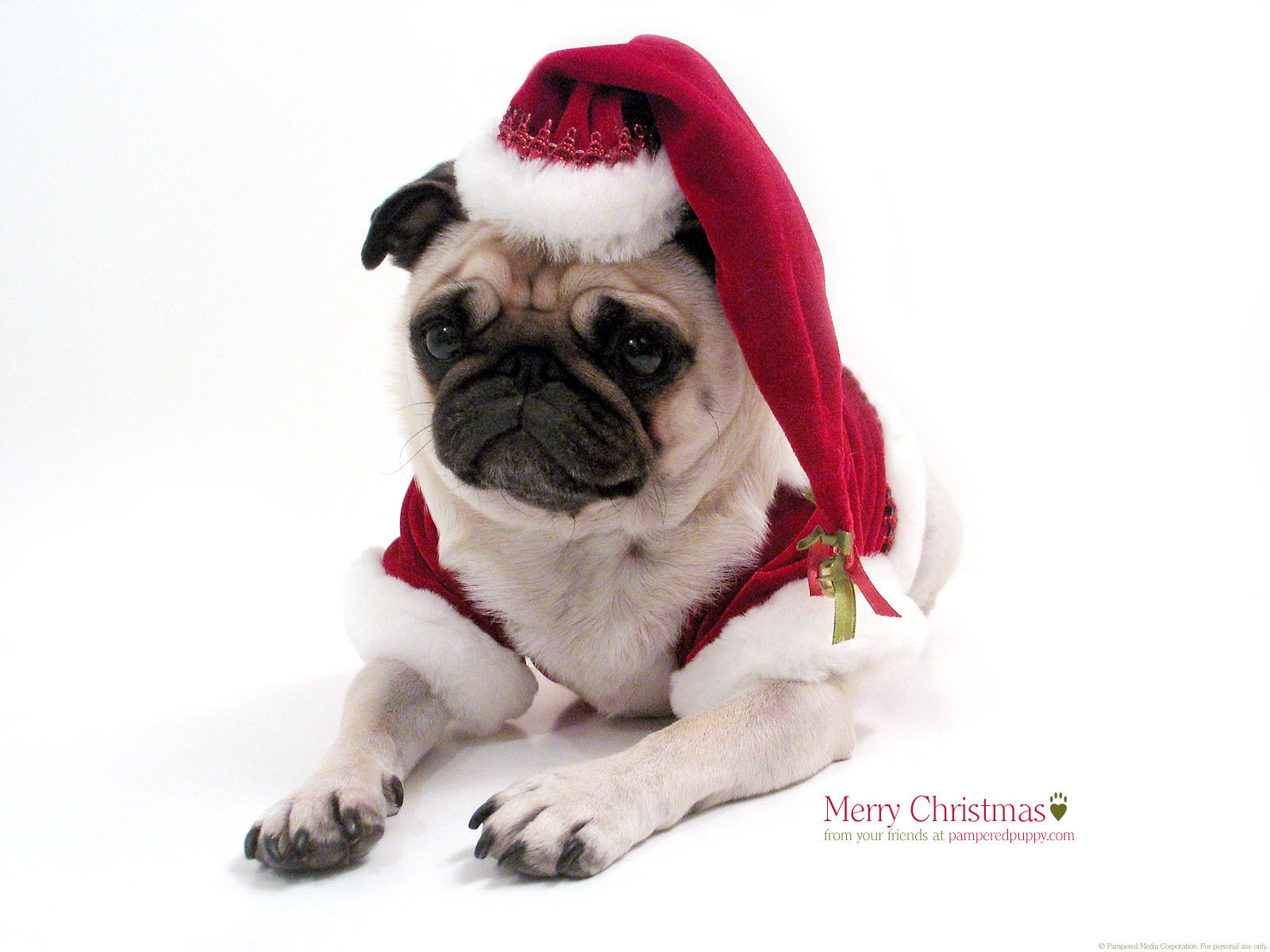 funny pugs images christmas pug hd wallpaper and background photos
