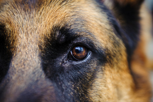 German Shepherd eye