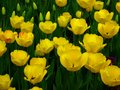 Lovely Yellow Tulip Wallpaper - colors wallpaper