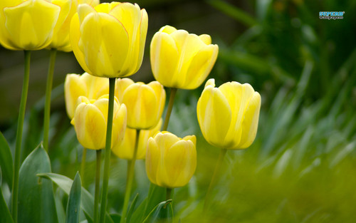 Lovely Yellow tulipano wallpaper