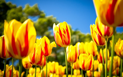 Lovely Yellow 튤립 바탕화면