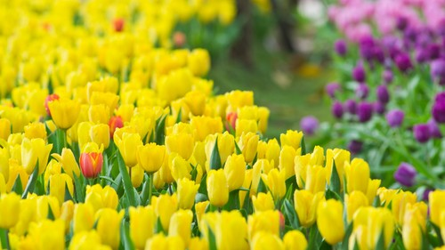 Lovely Yellow Tulip Wallpaper