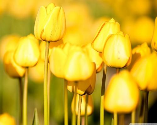 Lovely Yellow ट्यूलिप वॉलपेपर
