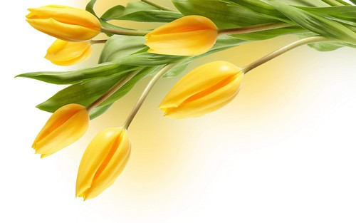 Lovely Yellow tulpe Hintergrund