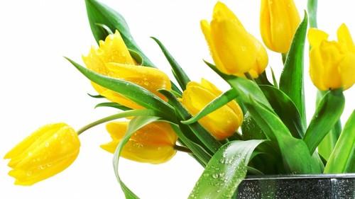 Lovely Yellow ट्यूलिप चित्र