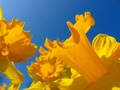 Orange Daffodil Wallpaper