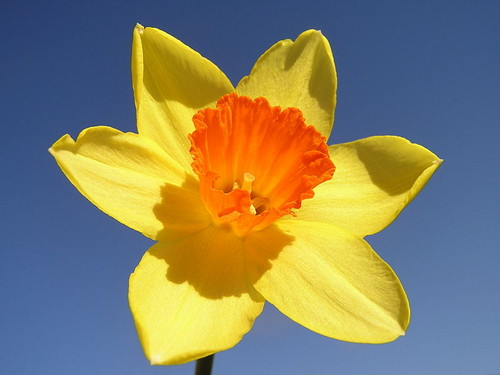 orange Daffodil kertas dinding