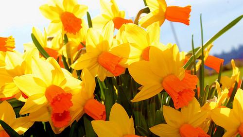Orange Daffodil
