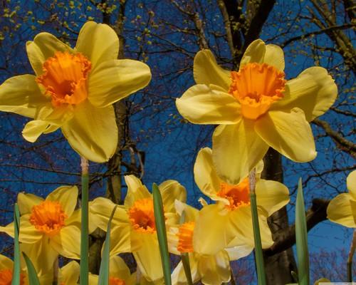 नारंगी, ऑरेंज Daffodil वॉलपेपर