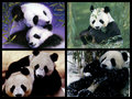 Panda Bear Collage