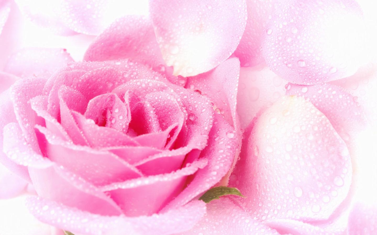 Rose Wallpaper Pretty Pink Rose Wallpaper