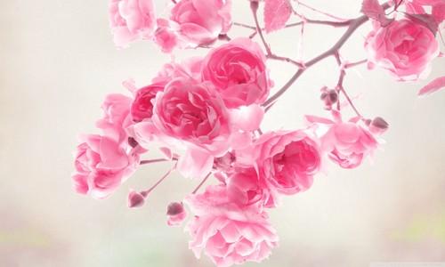 Pretty rosa, -de-rosa Rose fotografia