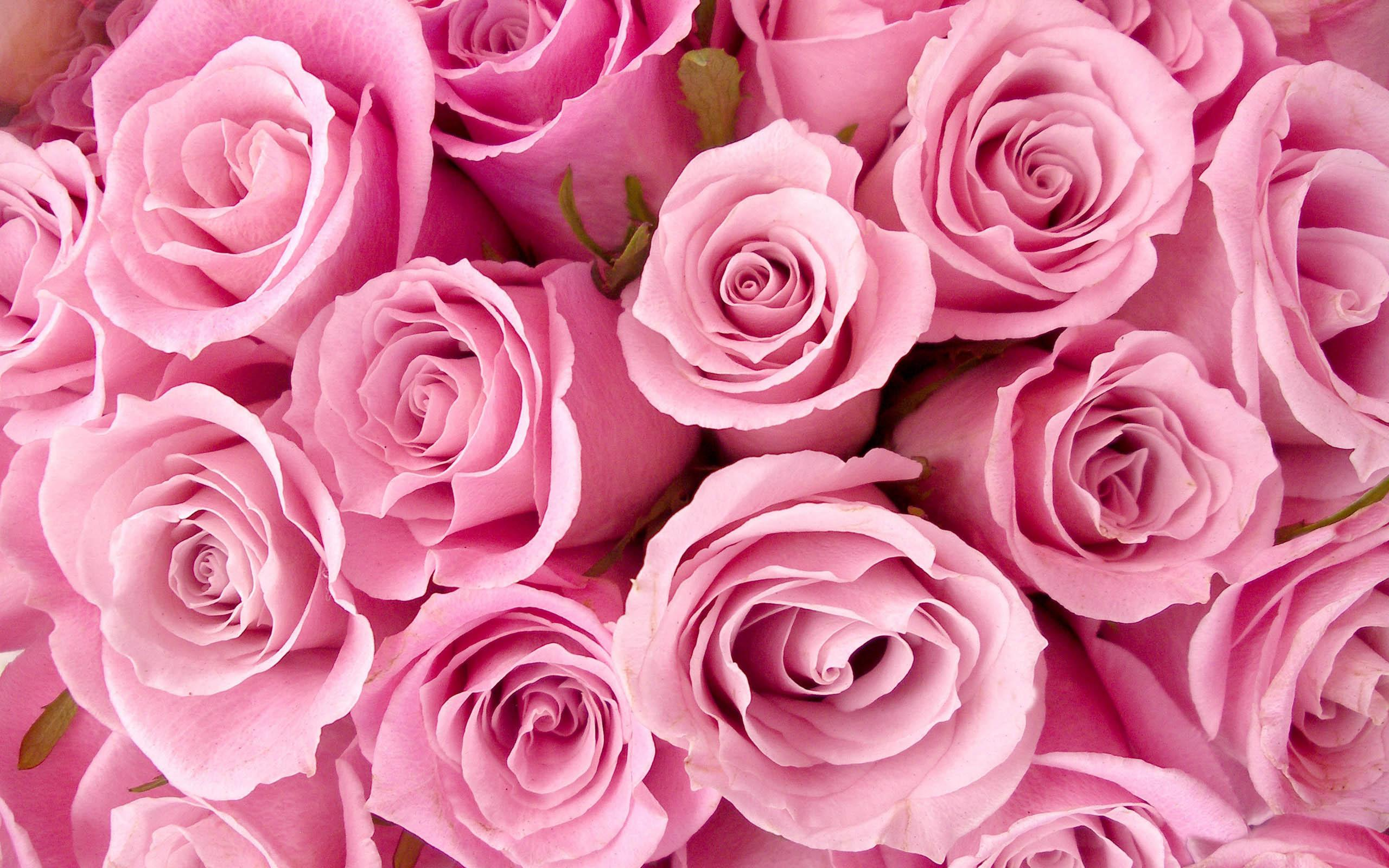 Colors Images Pretty Pink Rose Wallpaper Hd And Background Photos