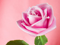 Pretty rosa rose wallpaper