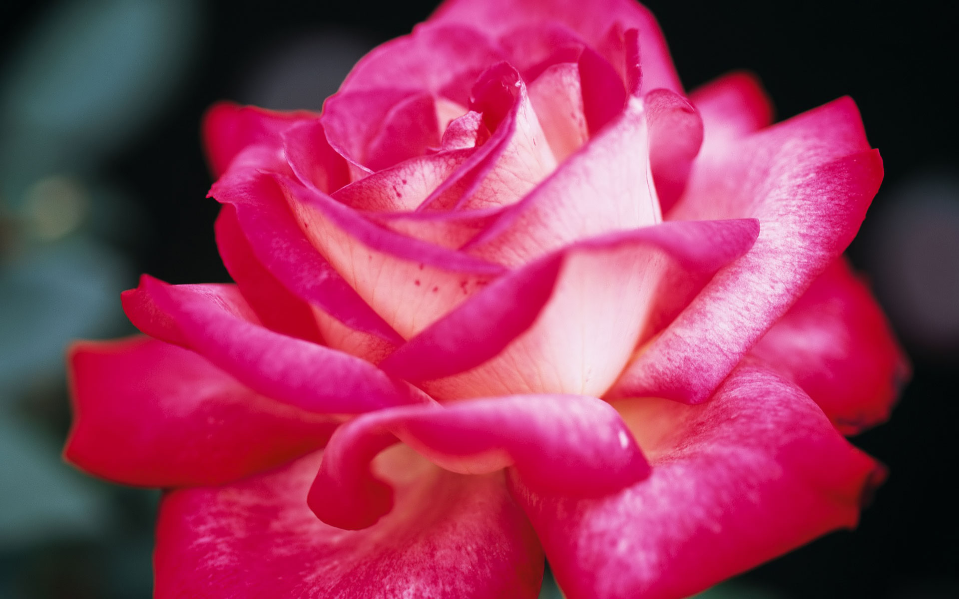 Pretty Pink Roses Wallpaper - Pink (Color) Photo (34590753 ...