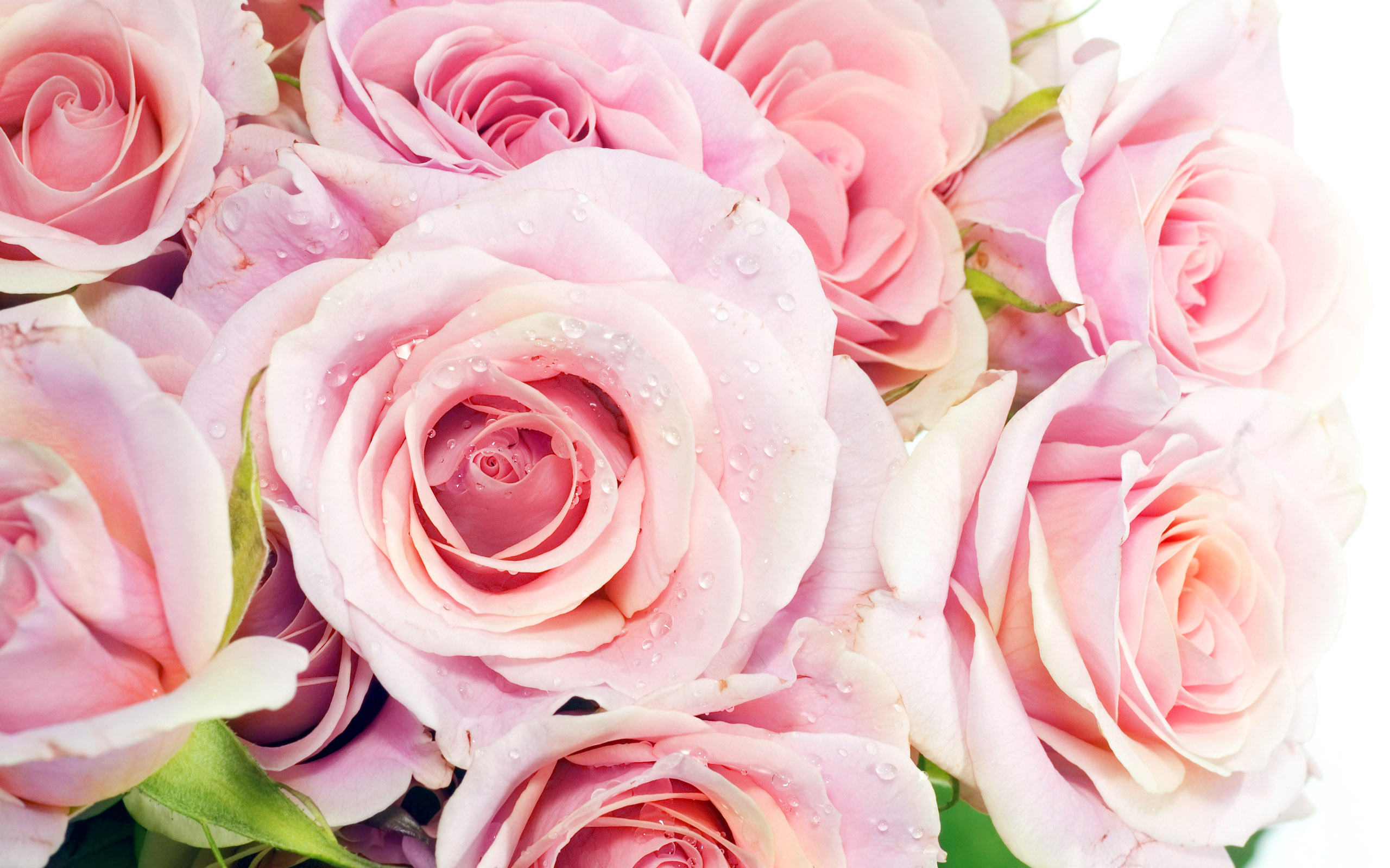 Pretty Pink Roses Wallpaper - Pink (Color) Photo (34590764 ...