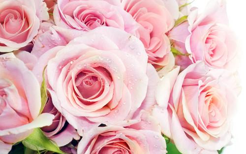 Pretty berwarna merah muda, merah muda mawar wallpaper
