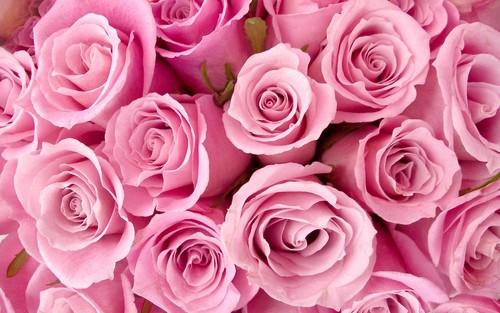 Pretty گلابی Roses پیپر وال