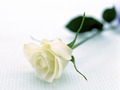 Pure White Rose Wallpaper - colors wallpaper