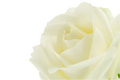 Pure White Rose Photo - colors photo