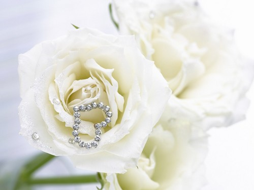 Pure White Rose fond d'écran
