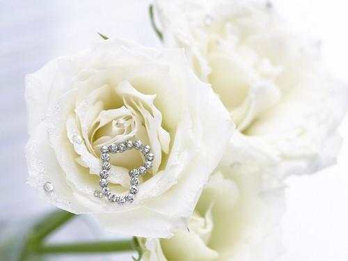Pure White Rose 바탕화면