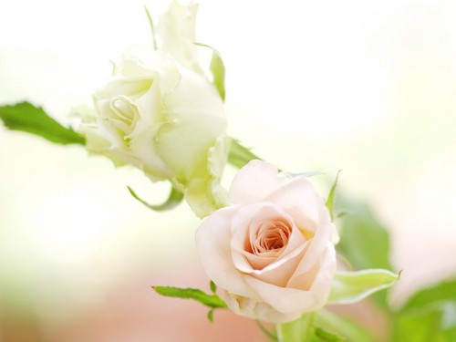 Pure White Rose fondo de pantalla