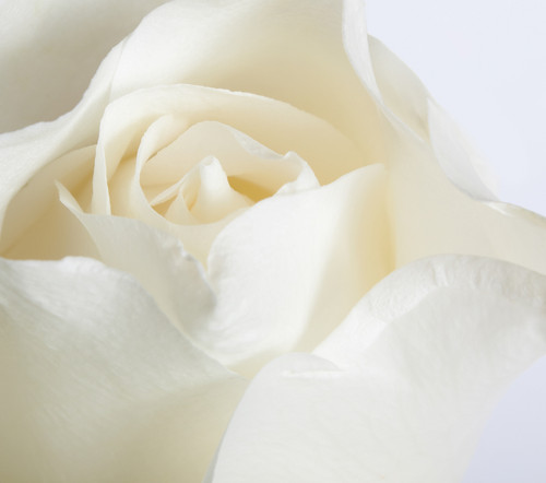 Pure White Rose Photo