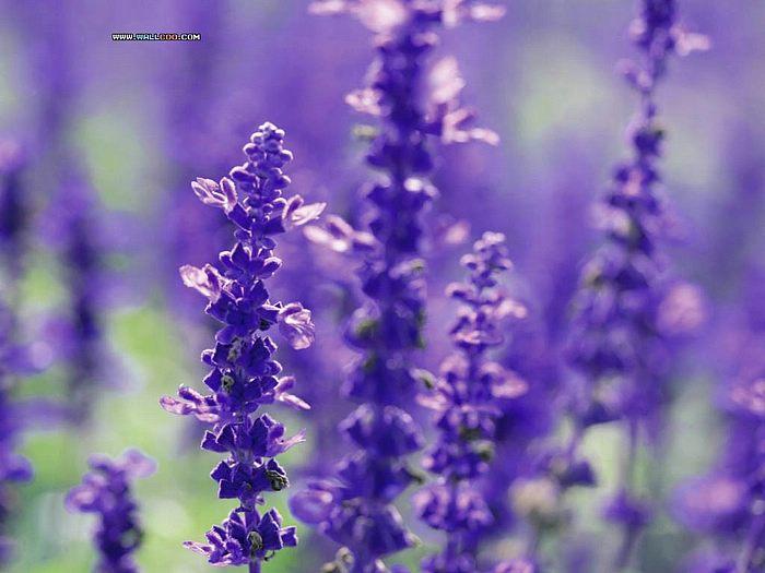 Purple lavender colors photo 34532007 fanpop - Lavender purple wallpaper ...