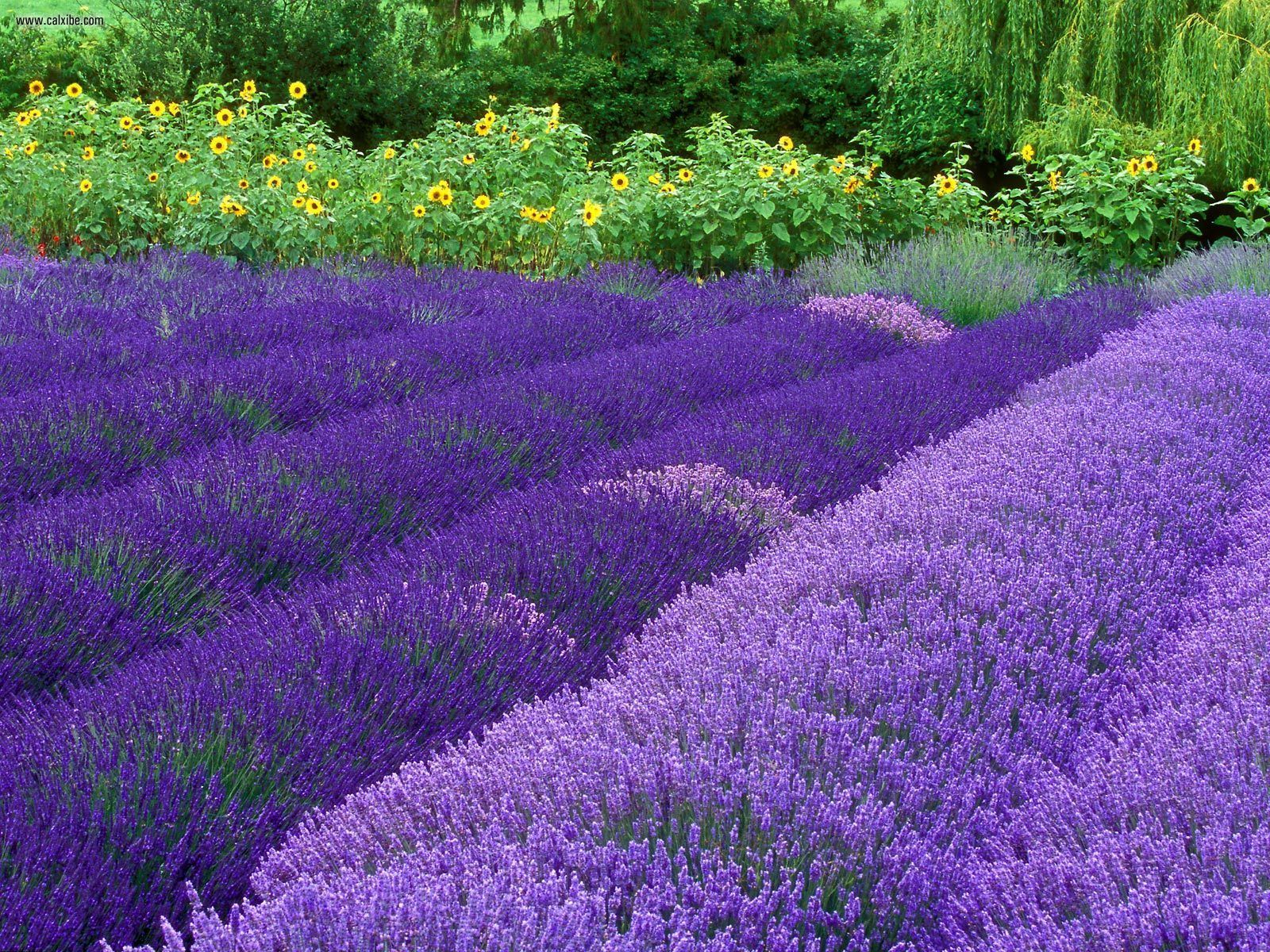 purple lavender colors photo 34532012 fanpop
