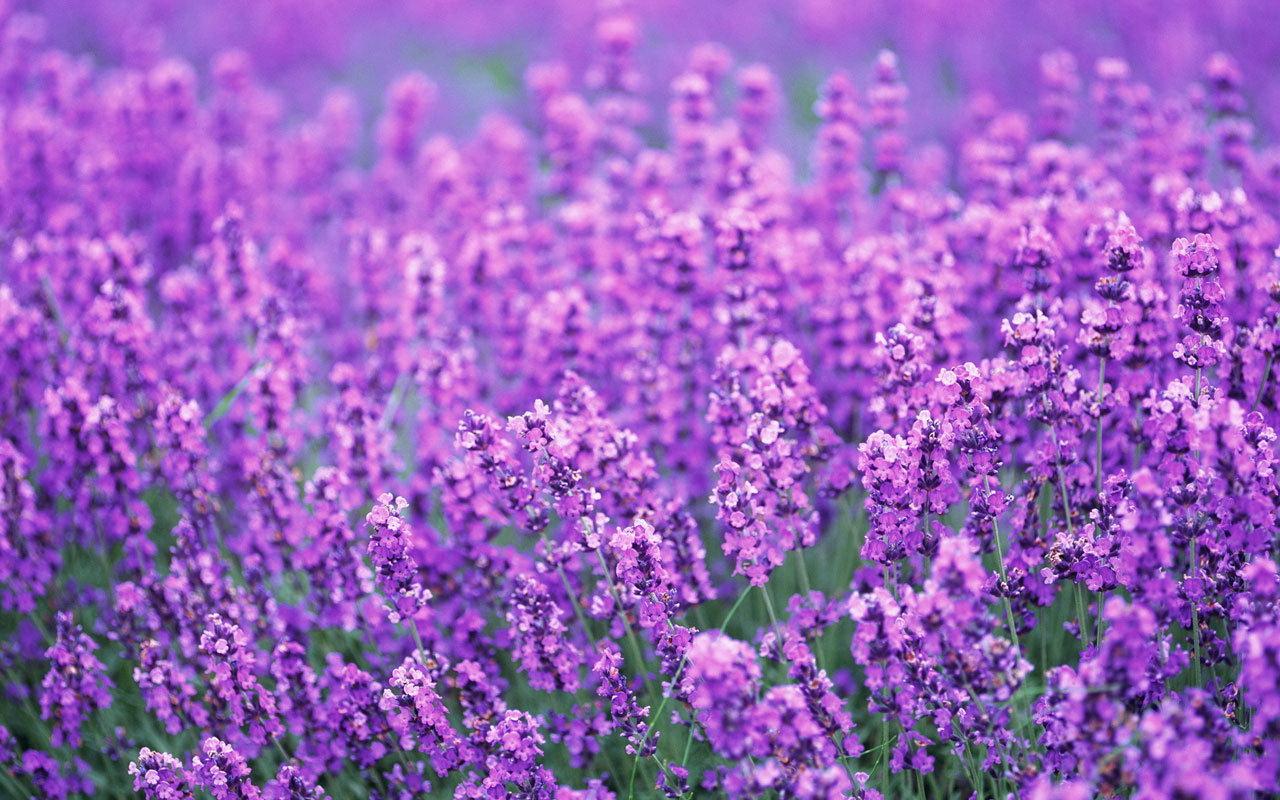 purple lavender colors photo 34532015 fanpop