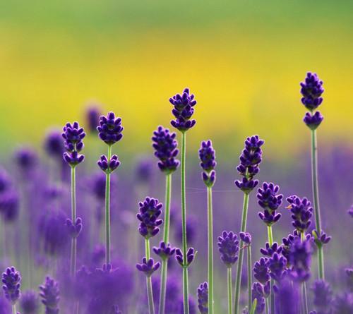 Purple Lavender