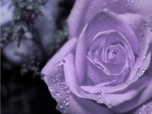 Purple Rose Wallpaper