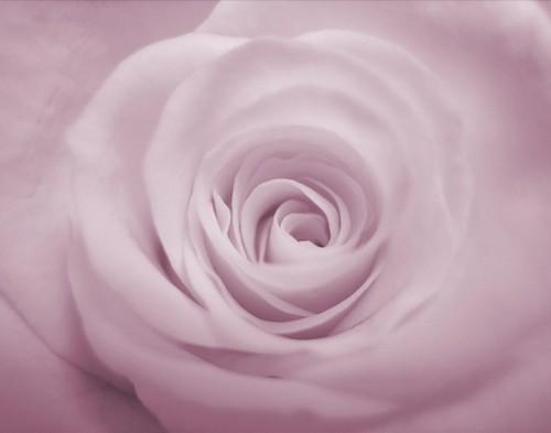 Purple Rose चित्र