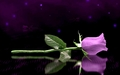 Purple Rose 壁纸