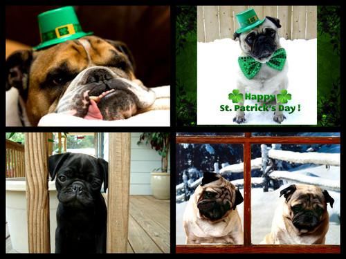 St Patricks día pug collage