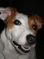 Tilly - jack-russell-terriers photo