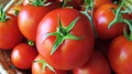 Vermillion Tomato - colors photo