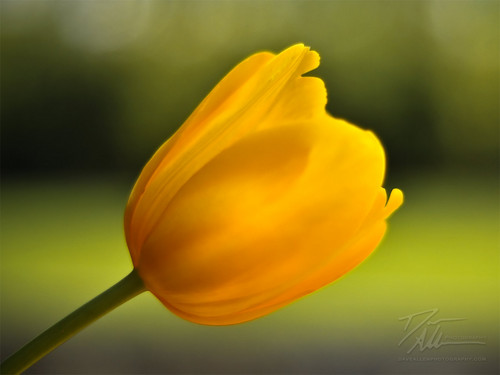 Yellow ट्यूलिप