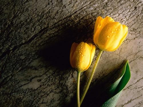 Yellow tulipán, tulip